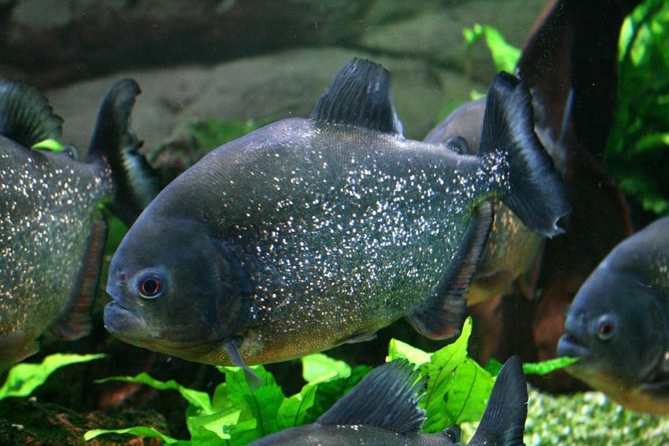 Piranha Red Bellied Tropical Tank Fish Aquarium