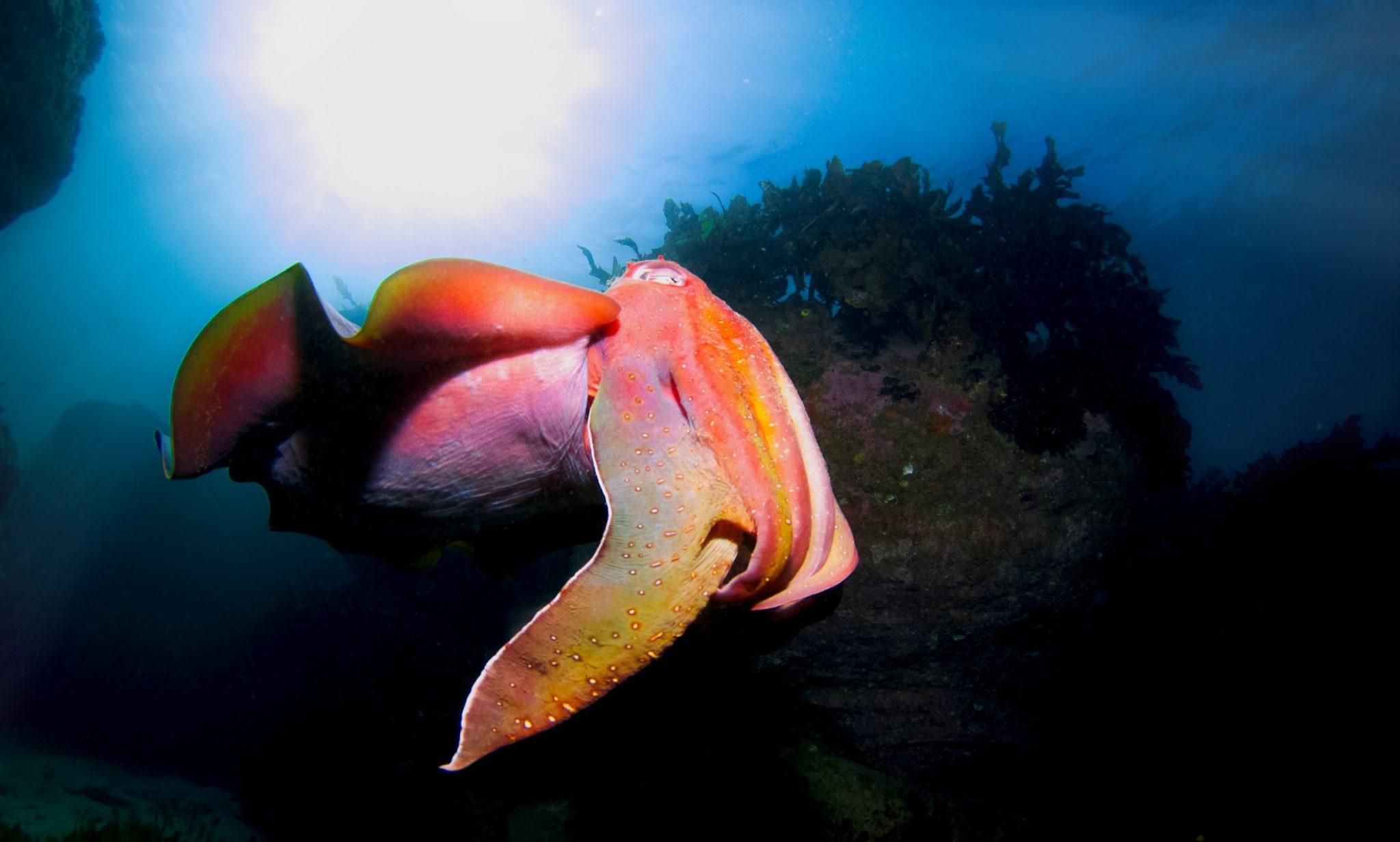 Snorkeling with cuttlefish-South Australia's underwater adventure